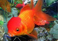 Sự phân hoá giới tính phụ thuộc vào nhiệt độ ở cá vàng: thiết lập giai đoạn nhạy cảm với nhiệt độ và ảnh hưởng của nhiệt độ nước ổn định và biến động lên sự phân hóa