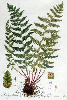 Dryopteris filis-mas, Male fern, Mannetjesvaren. Flora Batava, deel 2, Jan Kops (1807)