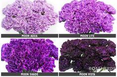 RoseNerds.com Wholesale Assorted Moon Series Purple Carnations | Floral Design Trend 2016: Sorbet