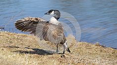 Goose flapping wings by lake
