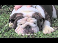 Blue Bulldog Shrinkabulls Dreama - http://hagsharlotsheroines.com/?p=46873