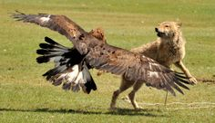 golden eagles hunting wolves