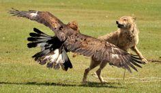 golden eagles hunting wolves