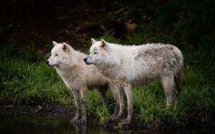 Weiße Wölfe, großartig!
