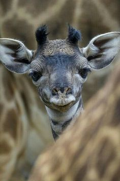 SAVE the giraffes! They are now ENDANGERED. Much fewer in number than elephants, even.