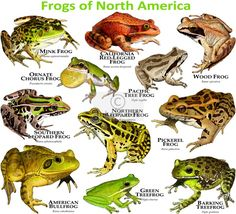 Fine art illustration of a various species of Frogs of North America Types Of Animals, Animals Of The World, Life Poster, Poster Poster, Poison Dart Frogs, Cute Frogs, Funny Frogs, Frog Art, Young Animal