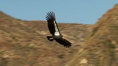 The Condor's Shadow  Director Jeff McLoughlin Talks About the Making of this Conservation Documentary