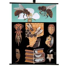 Honey Bee Print - This zoological chart was originally created in 1891 by the artistic trio Jung-Koch-Quentell. Reprinted by Hagemann between 1960 and 1980.