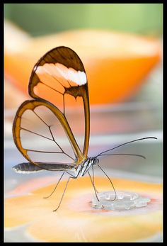 Translucent Butterfly (Greta Oto), via Flickr.