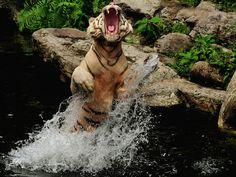 papel de parede Tigre na Água