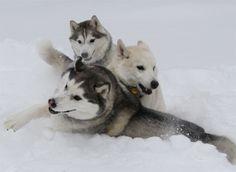 Huskies Apollo, Athena and Zeus enjoyed a tumble in the snow