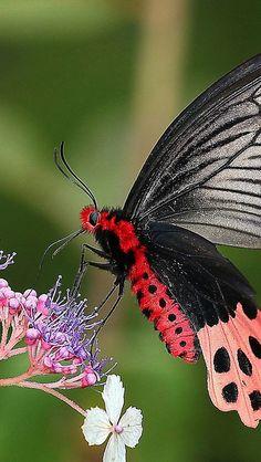 Mormon Swallowtail