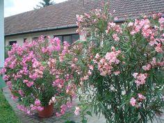 A három fő titok mellett egy meglepő tény is kiderül a leander magvetéséről. Flowers, Plants, Gardening, Shape, Shrubs, Lawn And Garden, Plant, Royal Icing Flowers