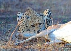 A Cheetah and her Cubs out for the Kill. This happened in Kruger park, south Africa.
