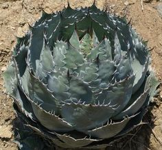 All Varieties – Page 2 – Rancho Tissue Succulent Gardening, Cacti And Succulents, Planting Succulents, Planting Flowers, Flower Plants, Agaves, Yellow Flowering Plants, Rabbit Resistant Plants, Succulent Images
