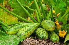 How-to summer squash. Need top-choice, sure-bet, best-pick, easy-to-grow summer squash varieties? Here are 15 top-performers for the home garden divided into the 3 most popular Growing Cantaloupe, Growing Spinach, Squash Varieties, Squash Seeds, Plantas Bonsai, Comment Planter, Market Garden, Balcony Garden, Edible Garden