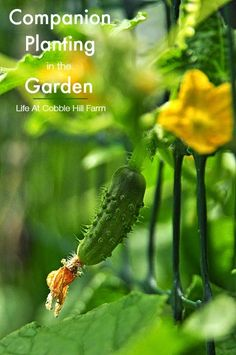 Life At Cobble Hill Farm: The Buddy System - Companion Planting In The Garde...