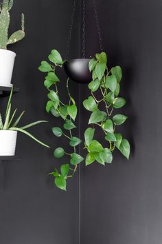 Learn how to care for pothos plants. Golden pothos plant care is easy, and pothos plants are some of the easiest houseplants to keep alive. Pothos Plant Care, Golden Pothos Plant, Peace Lily, Room With Plants, Large Plants, Plante Pothos, Ti Plant, Small Backyard Design, Backyard Ideas