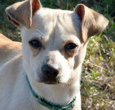 Trooper is a 2 year old, 10 1/2 lb male Chihuahua mix. He is a regular jumping bean who loves walking, playing with other dogs...and well, jumping!