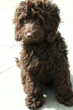 Chocolate colored cockapoo- looks like a stuffed animal ! Too cute!