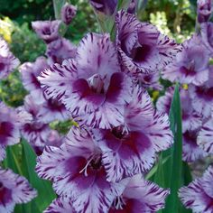 Gladioli, Sword Lily August birth month flower