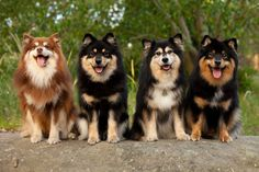 Finnish Lapphund ~~~ such a cute breed!