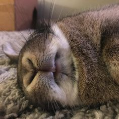 "140 mentions J'aime, 9 commentaires - Mabelthechubbybunny (@mabelthechubbybunny) sur Instagram : ""Must be dreaming about bananas...I'm smiling in my sleep. #rabbitsofinstagram…"""