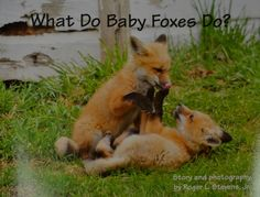 "A WONDERFUL book by a WONDERFUL person!  Thanks to that viral internet video, we all now know what the fox says. What we might not have known (until now) is ""What do Baby Foxes Do?"" Luckily, a Lincoln photographer can help us with that: T..."