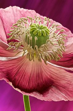Poppies. Pink & Green. Great Combo.
