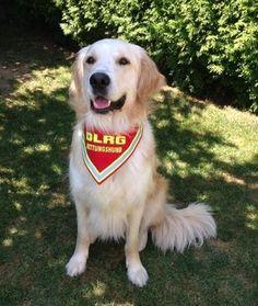 Hundehalstuch DLRG Rettungshund