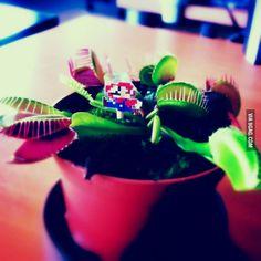 Got a Venus flytrap at work. Well...