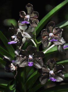Catasetum Memoria 'Lum Hon'. Dark, nearly black bat-lik