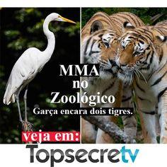 Zoológico. Garça encara dois tigres  MMA no Zoológico. Garça x Tigres. Garça luta com dois tigres no jardim zoológico. Choque observado e filmado por adultos e crianças.  http://www.topsecretv.com.br/zoologico-garca-encara-dois-tigres/  #mma #tigres #tigers #tiger #zoo #zoologico