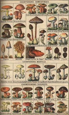 Rétro 1908: Bons et mauvais champignons. French edible mushroom chart. See www.techno-science.net