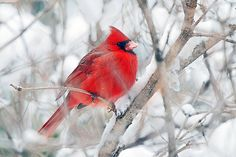 Haiku: 'Cardinal perches, on snowy branches. Crimson-, bright spot flies away.' ~ 'Winter's Bright Spot' by Barbara Lee Norris