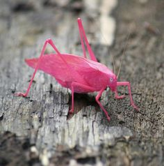 A pink Katydid. Usually grey, this is a 1 in 500 mutation.  Personally, I think he looks fabulous.