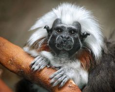 The cotton-headed tamarin - sadly a Critically Endangered species. One of South America's most endangered primates, the cotton-headed tamarin is found only in Colombia, where it lives in tropical rainforests and dry deciduous forests.  http://blog.arkive.org/2013/04/endangered-species-of-the-week-cotton-headed-tamarin/