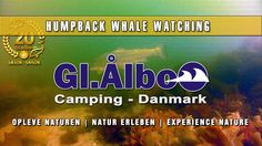 Gl. Ålbo Camping - humpbackwhale-2014 - Gl. Ålbo - Buckelwal 2014. Whalewatching der besonderen Art am 18.07.2014 direkt vor Gammel Aalbo Camping in Dänemark...
