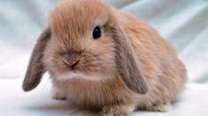Best rabbit breeds for kids – Pawfeel Mini Lop Bunnies, Mini Lop Rabbit, Small Rabbit, Cute Baby Bunnies, Rabbit Baby, Scary Animals, Animals For Kids, Pretty Animals, Cute Baby Animals