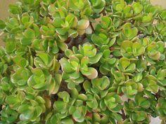 ¡El jade es la suculenta que falta en tu colección!