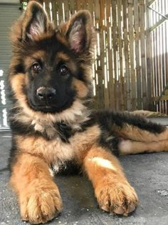 What a gorgeous puppy! via aww on September 06 2018 at Super Cute Puppies, Cute Baby Dogs, Cute Little Puppies, Super Cute Animals, Cute Dogs And Puppies, Cute Little Animals, Doggies, Cutest Animals, Baby Animals Pictures