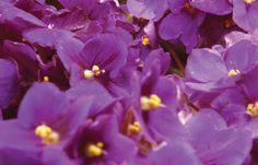 Cultivo de violetas