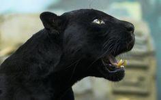 Black panther Animal desktop wallpaper download