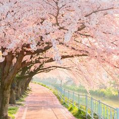 What a beautiful path to walk along covered in blossom trees. Picture Perfect