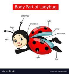 Diagram showing body part ladybug Royalty Free Vector Image Learning English For Kids, Spanish Language Learning, Teaching English, English Study, English Lessons, Learn English, Preschool Learning Activities, Free Preschool, Listening Activities