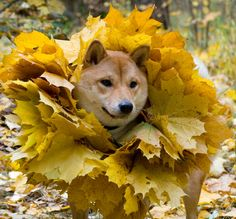 Shiba with autumn apparel. This gets me into the festive mood