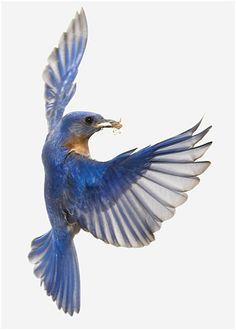 Strobist: Bluebirds and Stink Bugs