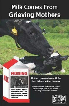 Milk industry is the VEAL industry. # milklife  https://www.facebook.com/ori.shavit.music/videos/10153146609334733/?fref=nf
