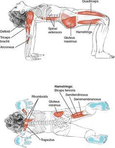 nice Reverse Table – Leslie Kaminoff's Yoga Anatomy
