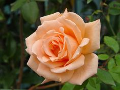 """ Breath Of Life "" (HARquanne) - Climber - Apricot or apricot blend - Strong, sweet fragrance - Harkness (UK), 1980"